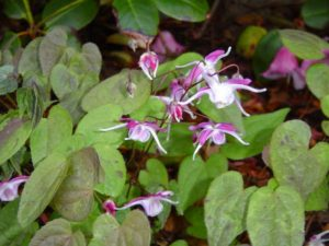 epimedium-barrenwort