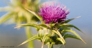 milk-thistle-copy